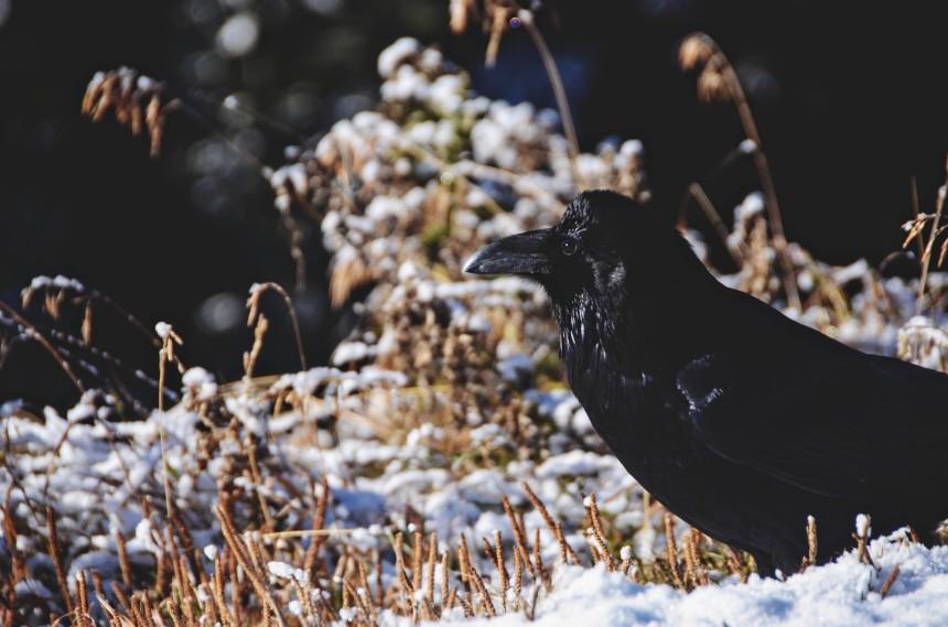 Alberta Canada roadtrip Banff crow